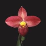 Phragmipedium