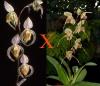 Paphiopedilum randsii x Bel Royal