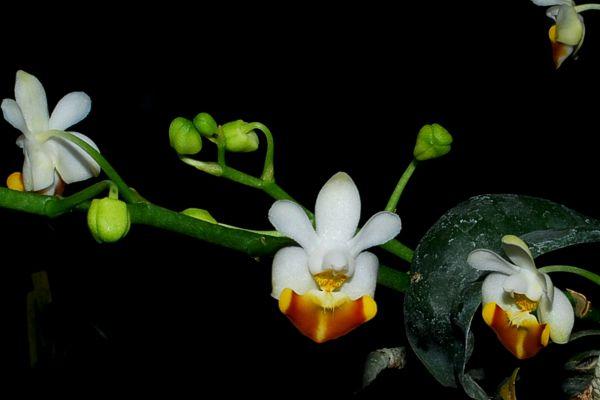 Phalaenopsis_lobbii_vietnamica