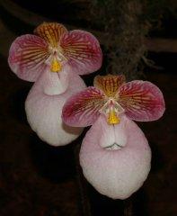 Paphiopedilum micranthum 'Rom'/Glanz_2014_17.jpg