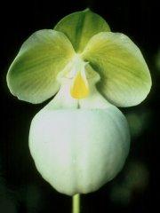 Paphiopedilum micranthum forma glanzeanum Typus aus der Kultur von Franz Glanz/Glanz_2014_18.jpg